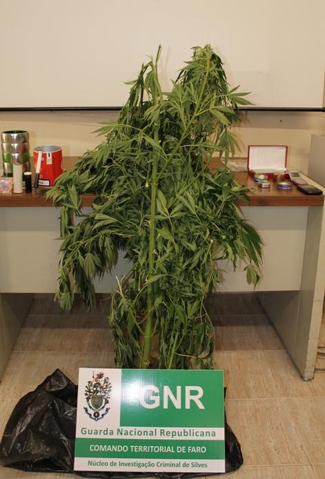 Apreensão-Cannabis-em-Algoz-GNR
