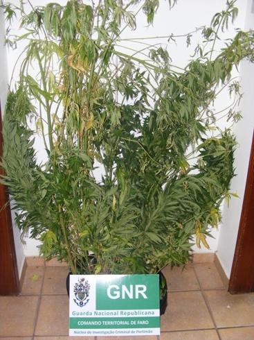 GNR volta  a apreender cannabis em Monchique julho 2014