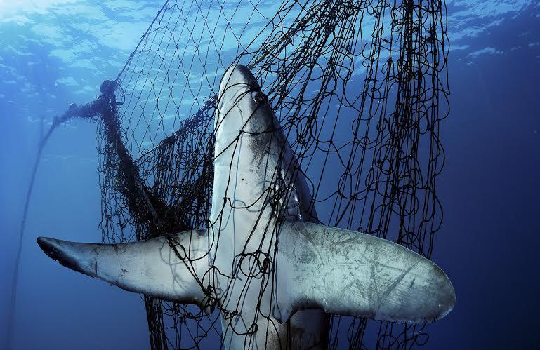 PLANET OCEAN: Pez Zorro enredado en una red de pesca en México