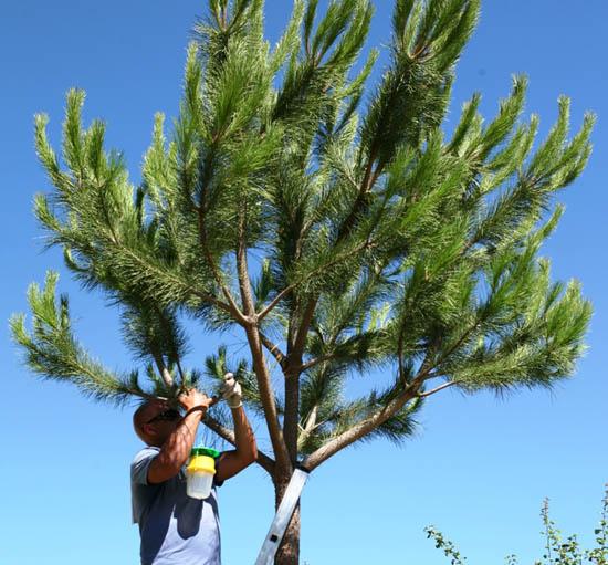 Tratamento de pinheiros - Arquivo CMP_Filipe da Palma