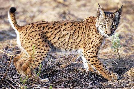 lince_2