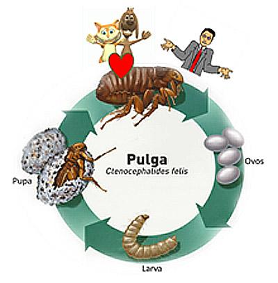 Ciclo de vida da pulga do cão e do gato
