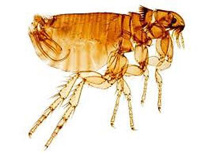 Ctenocephalides felis