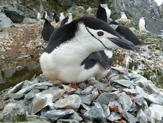 pinguim1