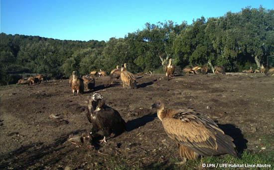 Campo de alimentação de aves necrófogas