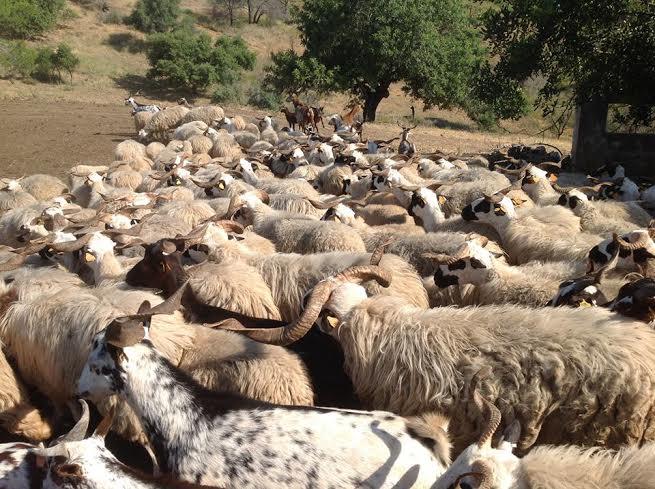 ovelha churra