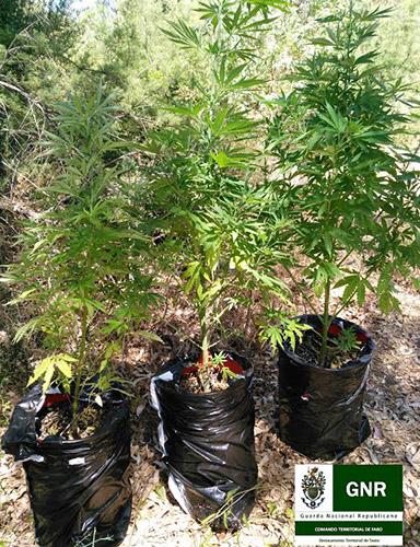 Cannabis apreendido em Alcoutim