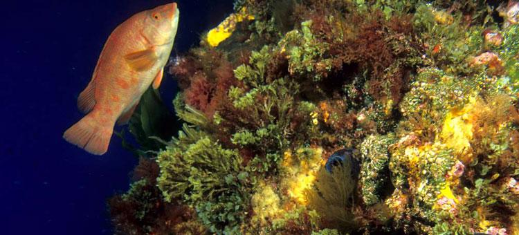 Biodiversidade no Banco Gorringe -- Fonte: http://eu.oceana.org/es/eu/que-hacemos/proteccion-de-habitats/atlantico/portugal/gorringe