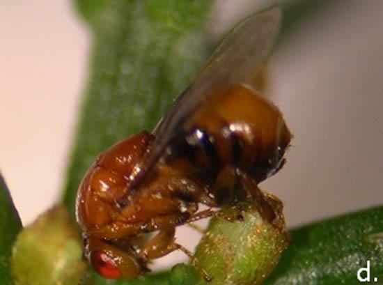 acácia e inseto_2