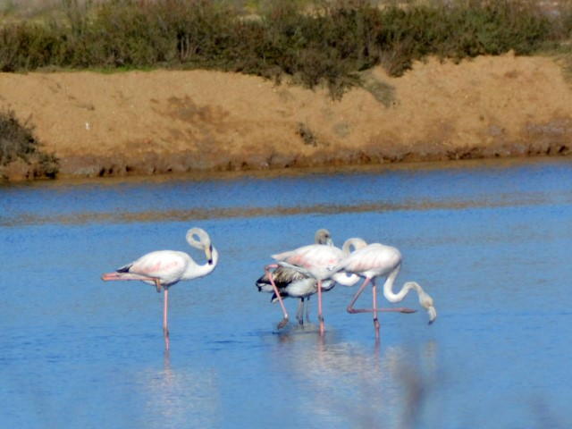 Flamingos na Ria Formosa