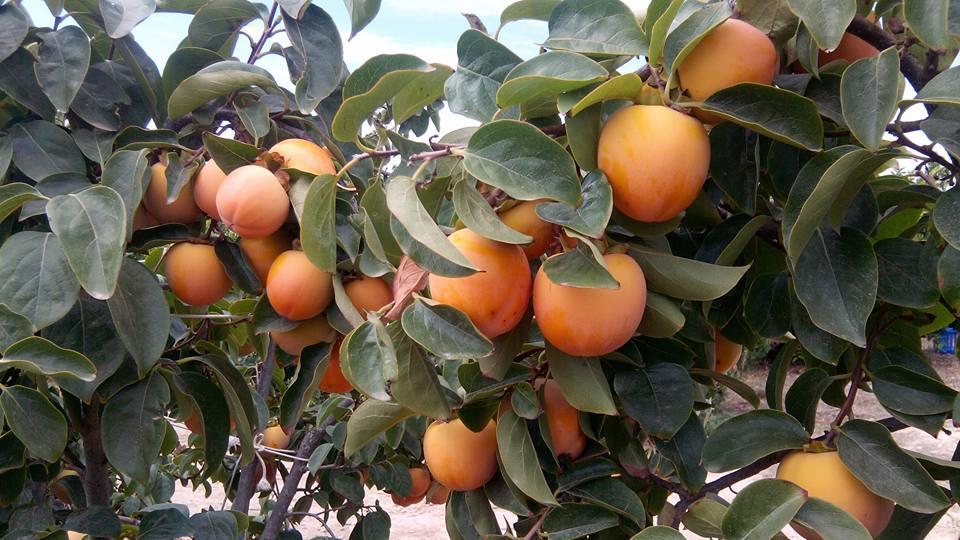 Luis Sabbo Frutas do Algarve, DR
