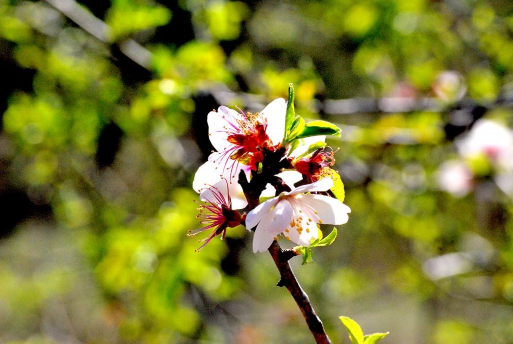 Amendoeira em Flor_Odiana