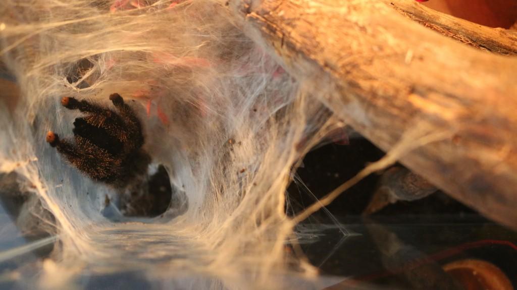Tarantula-Avicularia urticans